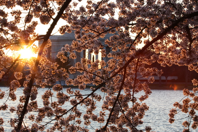 Jefferson Memorial at dawn with cherry blossoms